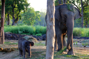 elephant-breeding